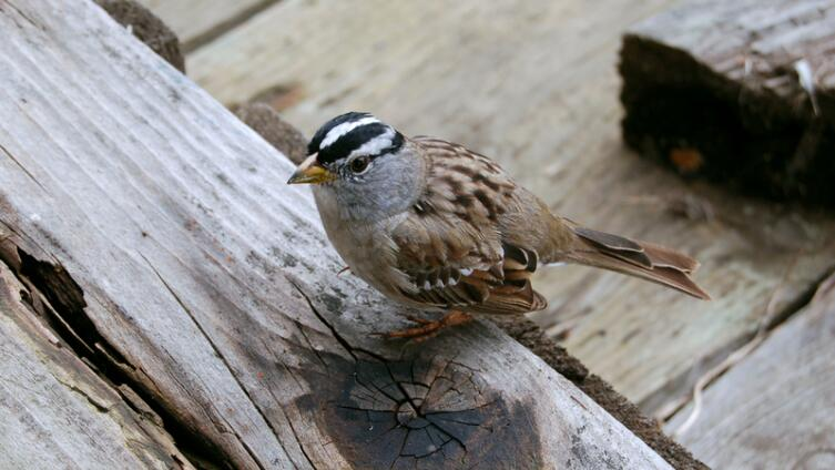 Как птицы вылетали из королевских пирогов?