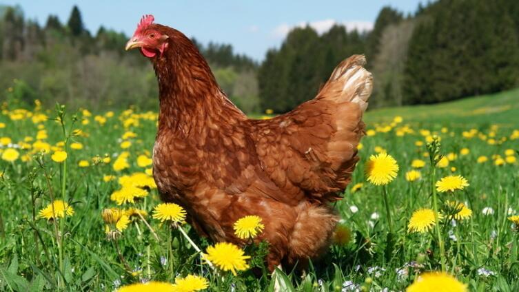 Как применять куриный помет в качестве удобрения?