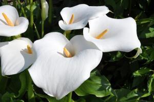 Какие цветы считаются символами женской красоты?