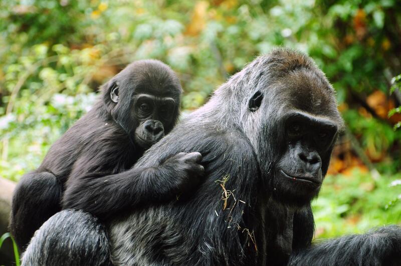 Сексуально ненасытные обезьяны бонобо