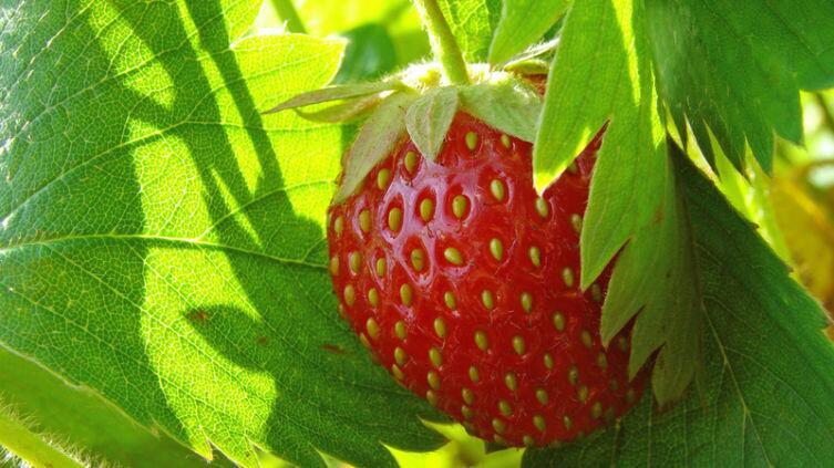 Как ухаживать за клубникой (садовой земляникой) на дачном участке?