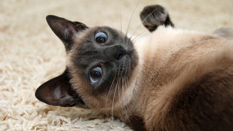 Мечтаете завести сиамского котенка? О самопожертвовании и уникальности