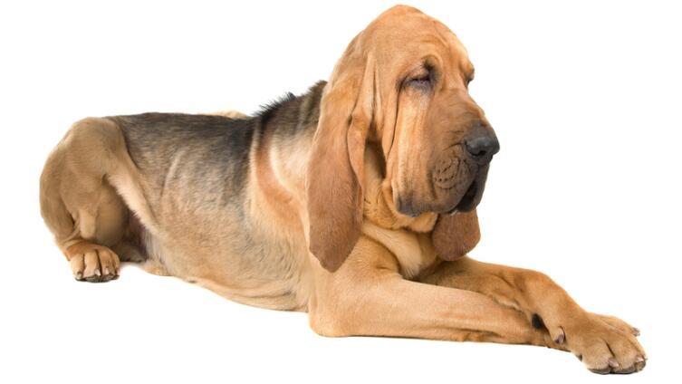Какую породу собак называли «кровавой гончей»?