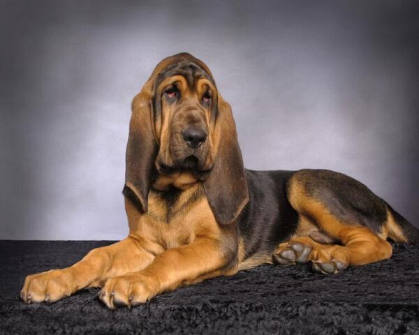 бладхаунд порода собак фото