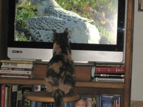В свободное от кошачьих игр время Соня любит смотреть телевизор
