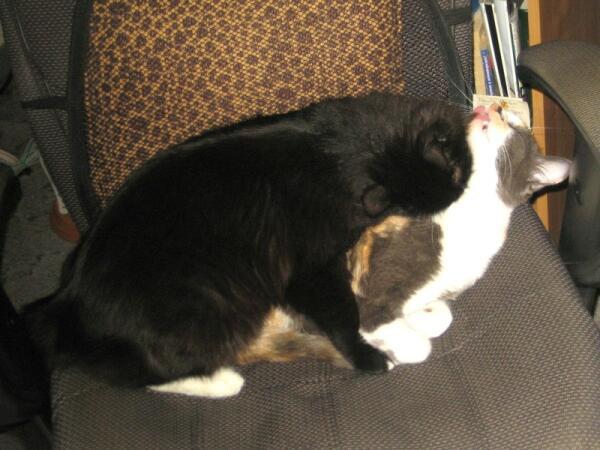 Котам нравится помогать друг другу с утренним туалетом