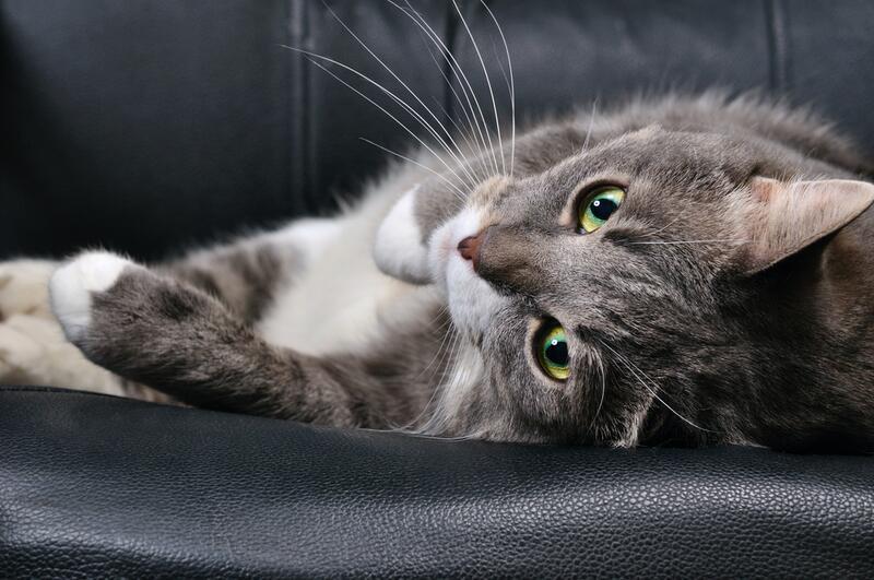 Правда ли коты могут лечить
