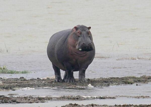От воды бегемоты стараются не удаляться