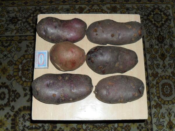 Картофель Кубинка (фиолетовая) и Любава в сравнении