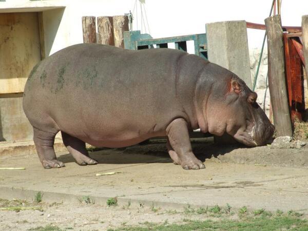 Карликовый бегемот в зоопарке