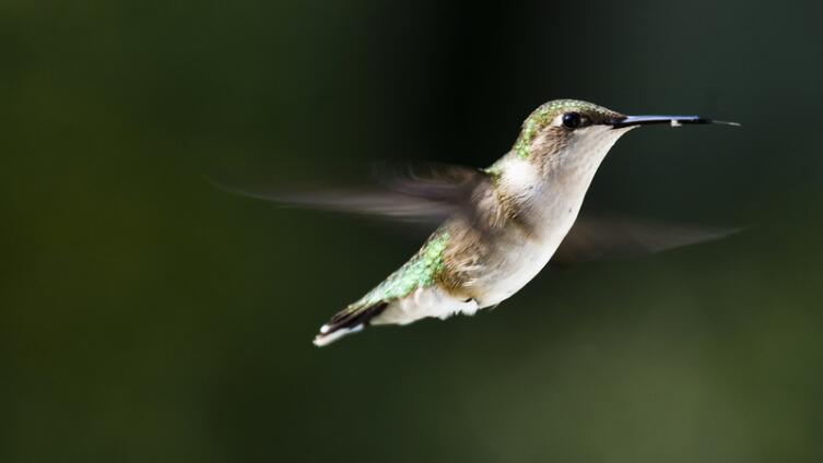 Птичка-бабочка колибри, или Кто живет шиворот-навыворот?
