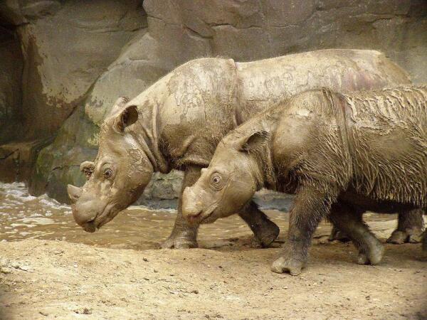 Суматранские носороги— маленькие и волосатые