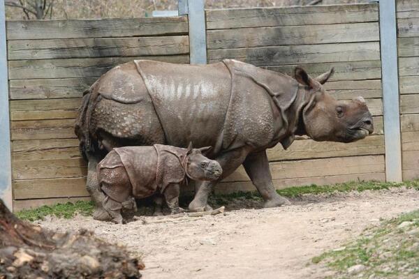 Индийского носорога недаром прозвали панцирным