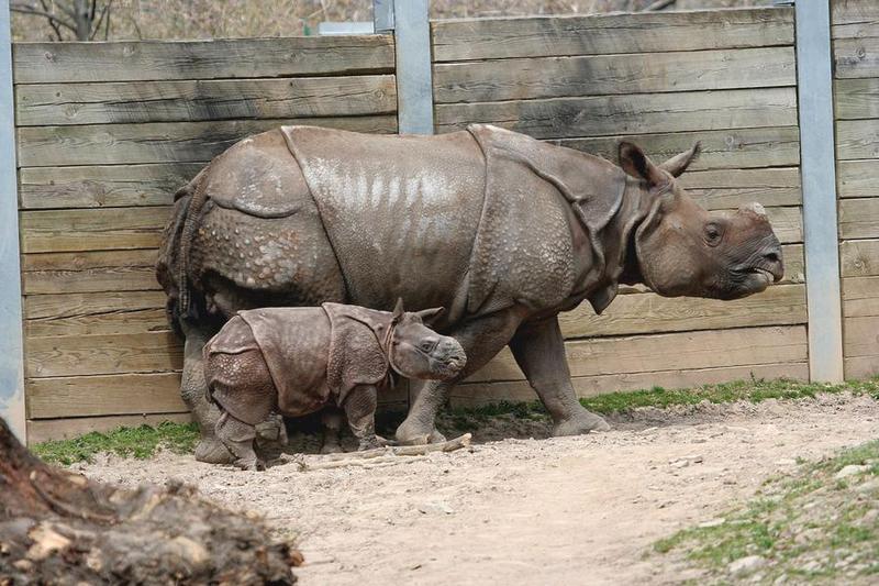 Сколько носорогов мы знаем? | Животные | ШколаЖизни.ру