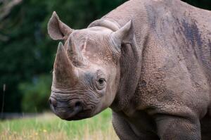 Сколько носорогов мы знаем?