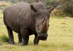 Рог носорога. Как средство защиты стало причиной истребления?