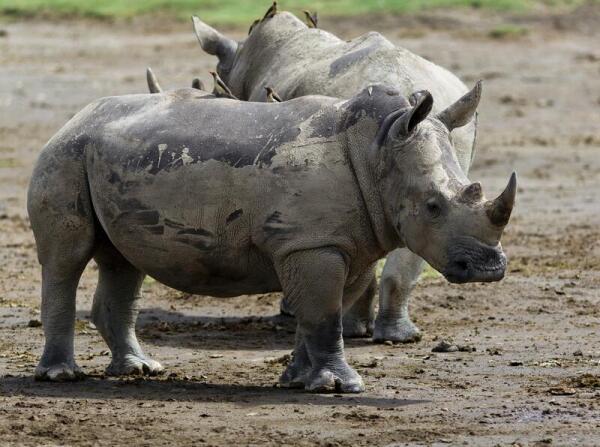 Птички-волоклюи - возможно, единственные «друзья» носорога