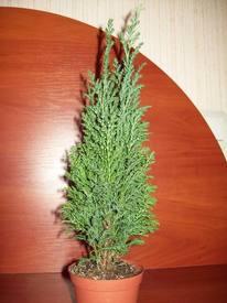 Комнатное растение кипарис