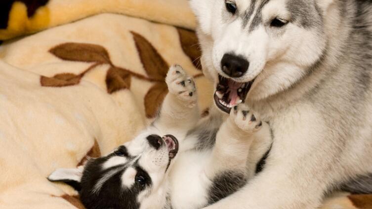Как состояние здоровья породистых собак влияет на потомство?
