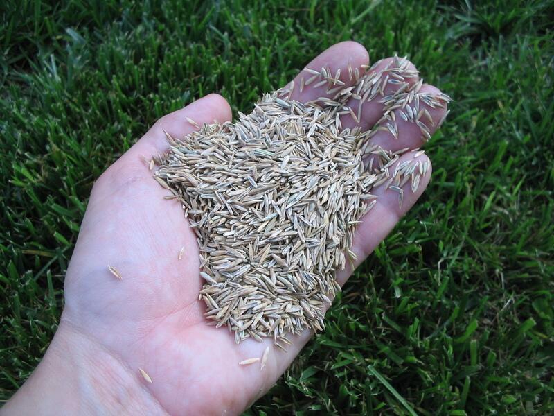 Выбор газонной травы. Положительные качества и советы.