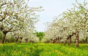 Есть ли в природе молодильные яблоки?