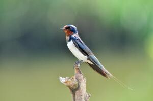 Ласточкины гнезда: как и зачем их нужно есть?