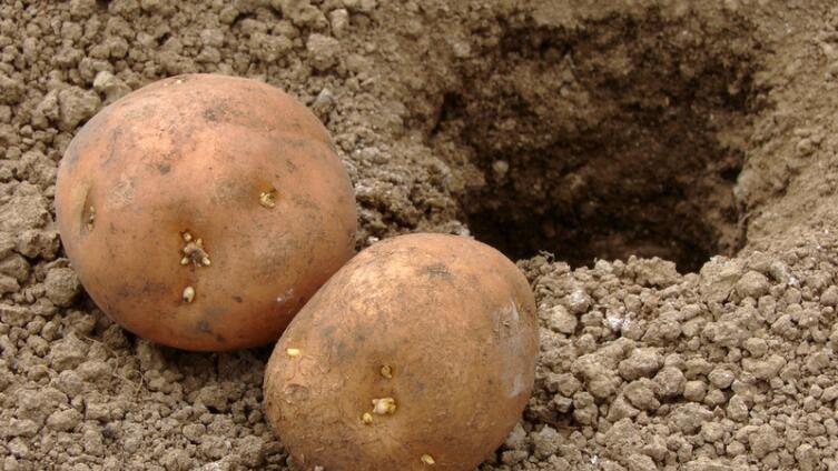 Как выращивать картофель на дачном участке?