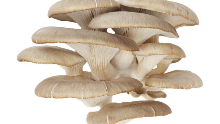 Как вырастить грибы вешенки?