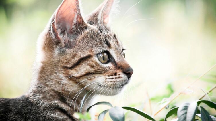 Может ли кошка стать солисткой камерного симфонического оркестра?