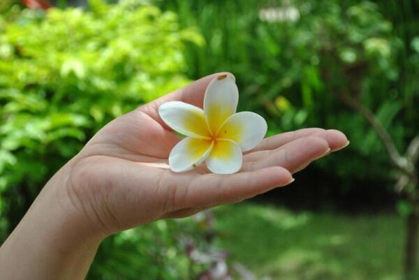 Плюмерия, цветок