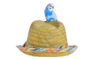 Волнистые попугайчики: живём дружно и долго?