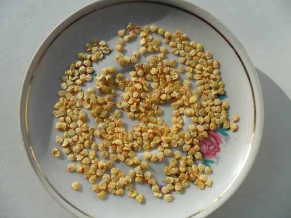 Заготовленные самостоятельно семена перца
