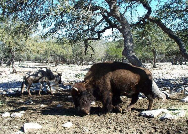 Бизон и антилопа Гну