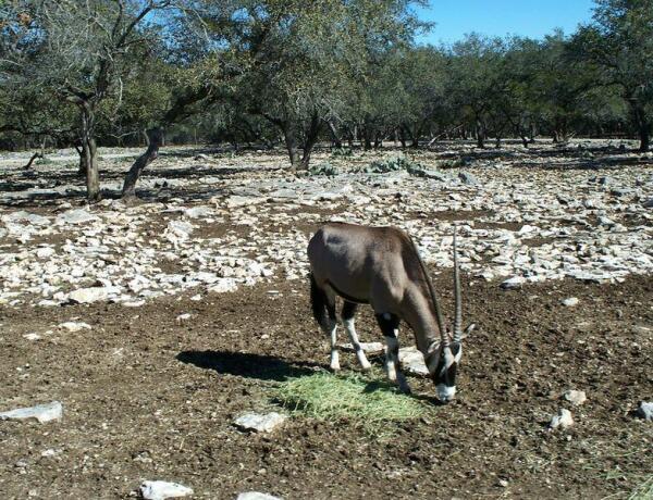 Антилопа Орикс, или сернобык