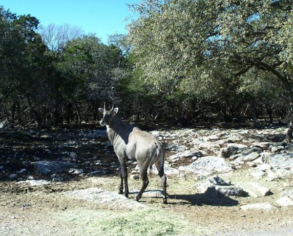 Антилопа Нильгау, она же - голубой бык