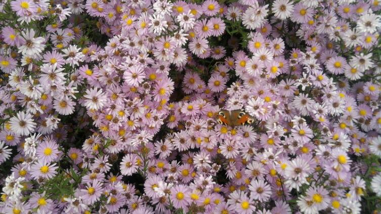 На сентябринки в октябре прилетела бабочка