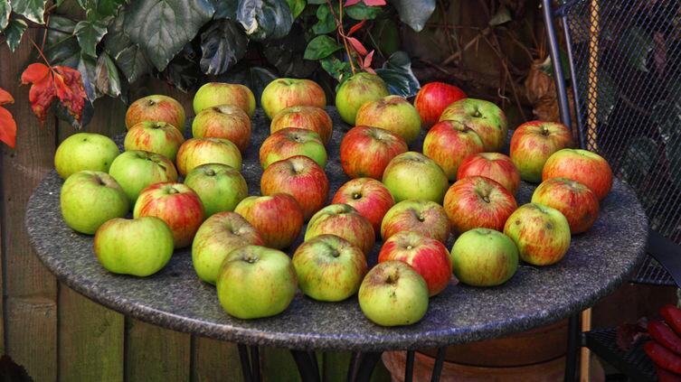 Как вырастить корнесобственные саженцы яблонь?