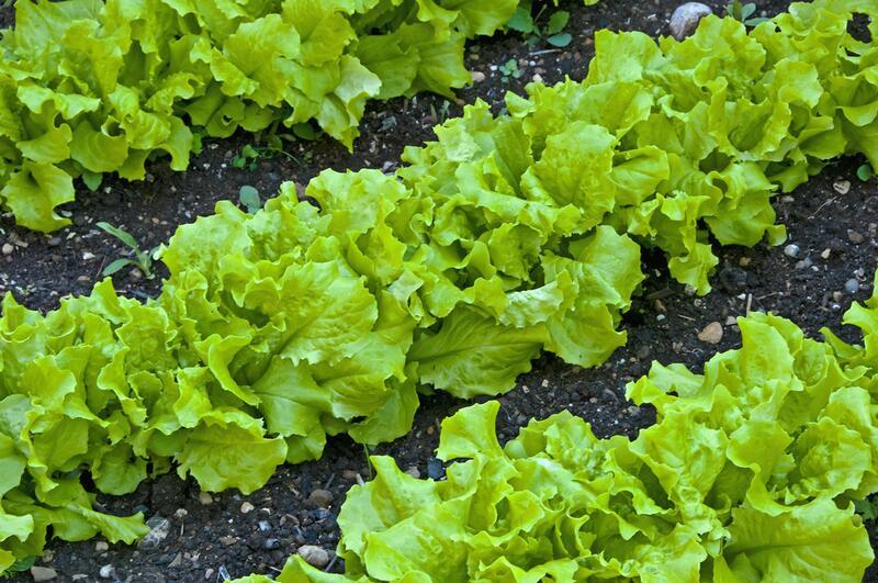 фото салатов растущих в огороде видя фотоаппарат
