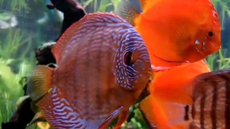 Короли аквариума— дискусы