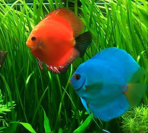 Дискусы - жемчужины аквариума