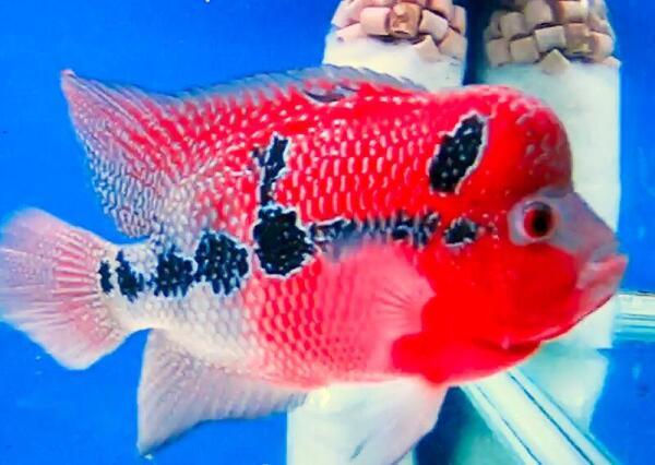 Красный дракон. Лондонский аквариум