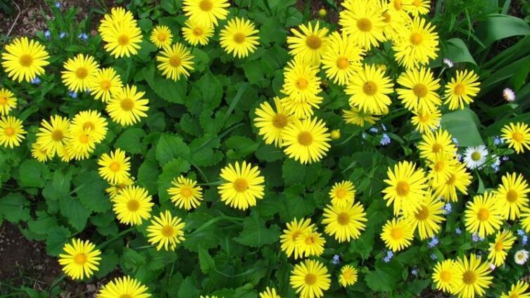 Дороникум - солнечный цветок