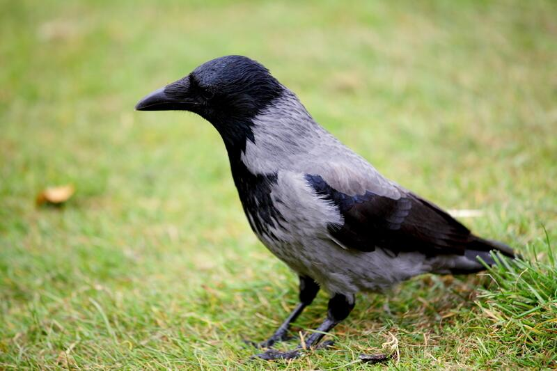 Что любят есть вороны
