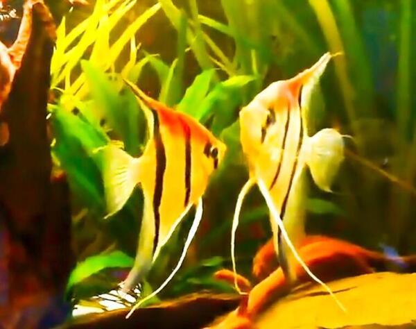 Рыбы-ангелы (скалярии)