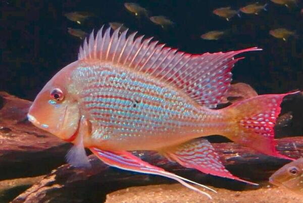 Геофаус суринамский