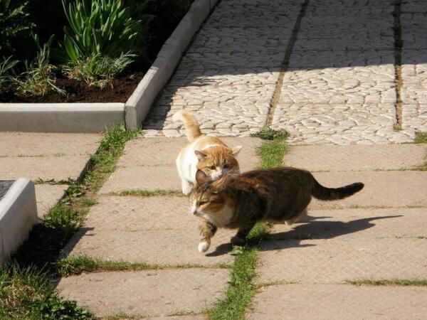 Кошки встречаются лишь для размножения