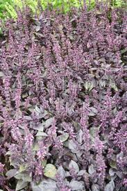 Базилик ароматный фиолетовый