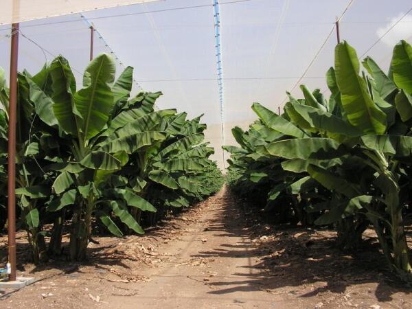 Над банановой плантацией - вуаль для защиты растений от насекомых