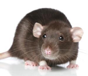 Крысы: почему от них невозможно избавиться?
