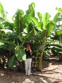 Банан - это трава, но только очень высокая